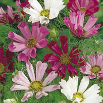 Cosmea Seeds - Sea Shells Mix