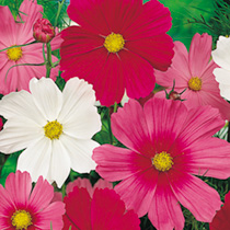 Cosmos Seeds - Sensation Tall Mix