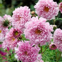 Click to view product details and reviews for Cosmos Seeds Rose Bonbon.