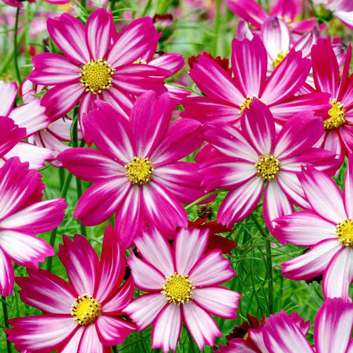 Cosmea Seeds - Red Stripe