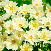 The sky is the limit, but Cosmos Xanthos goes beyond. An amazing new dwarf, early flowering cosmos bearing masses of single round flowers (some with a