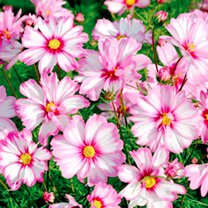Cosmos Plant - Capriola