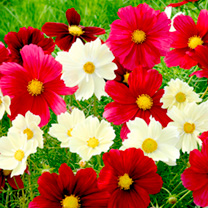 Cosmea Seeds - Rubies in Sunshine