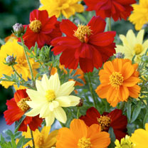 Click to view product details and reviews for Cosmea Seeds Brightness Mix.
