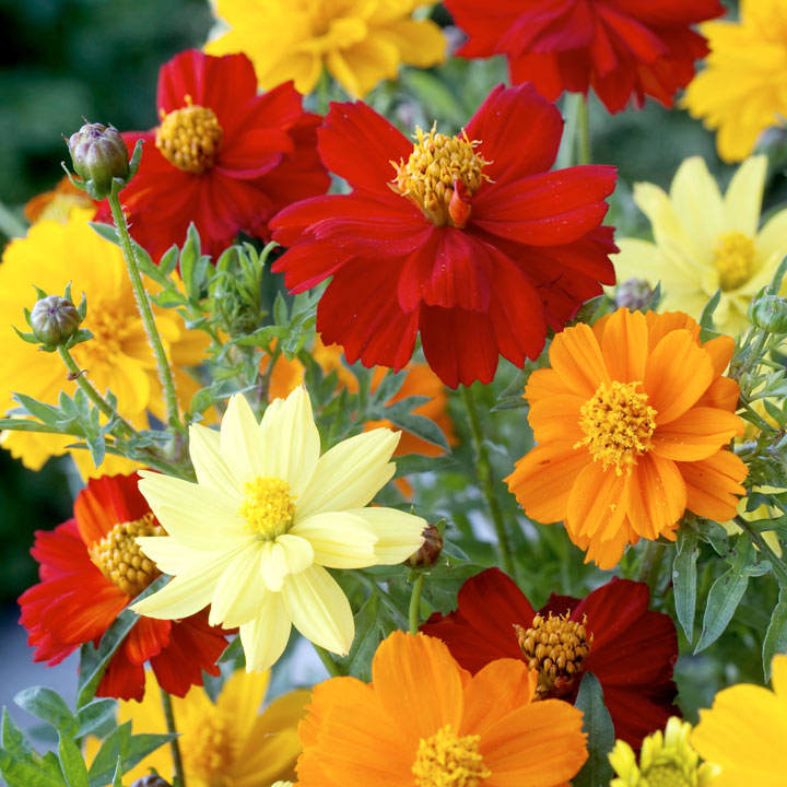 Cosmea Seeds - Brightness Mix