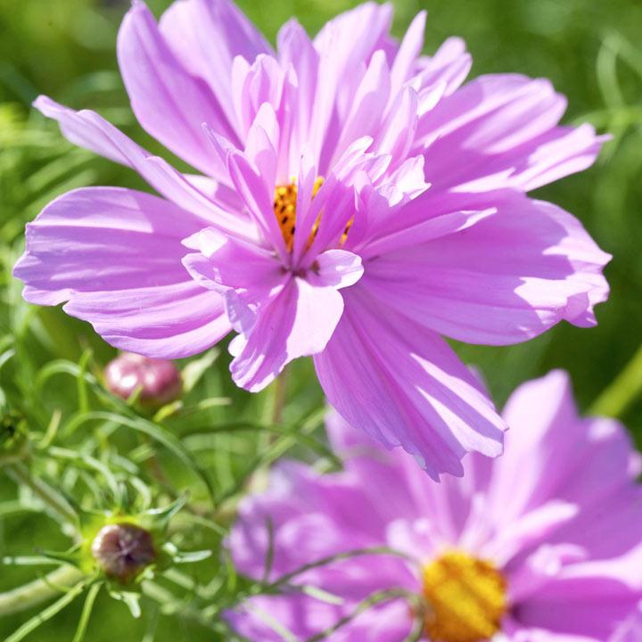 Cosmos Fizzy Pink View All Flower Seeds Flower Seeds Gardening