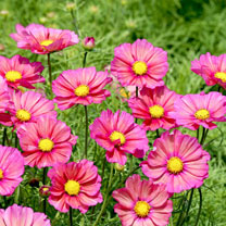 Click to view product details and reviews for Cosmos Seeds Xsenia.