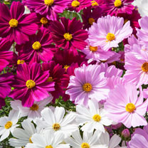 Cosmos Potted Plants - Apollo Mix