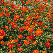 Click to view product details and reviews for Cosmos Seeds Tango.