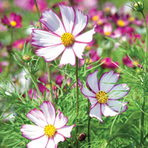 Cosmos Seeds Tip Top Picotee