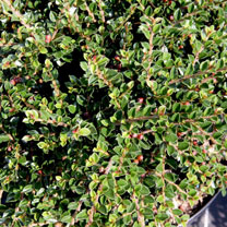 Cotoneaster horizontalis Plant