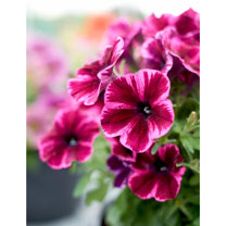 Crazytunia Plants - Collection (12 Plants)