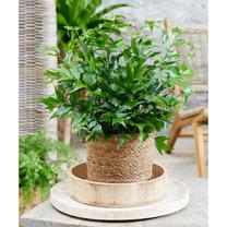 Cyrtomium Plant - Falcatum