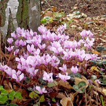 Cyclamen hederifolium Plants