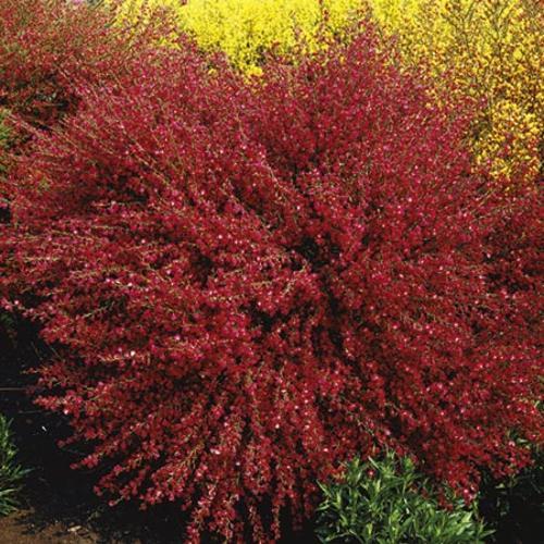 Cytisus Plant - Boskoop Ruby