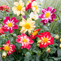 Click to view product details and reviews for Dahlia Seeds Yankee Doodle Dandy.