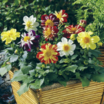 Dahlia Plants - Harlequin Mix