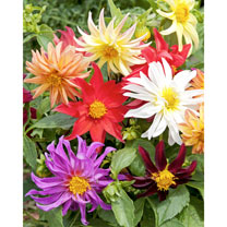 Dahlia Seeds - Dwarf Cactus Mix