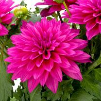 Dahlia Plant - LaBella Maggiore Deep Rose