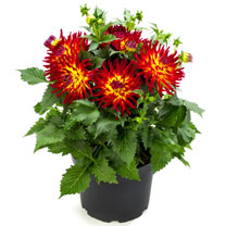 Dahlia Plants - Pack of 3