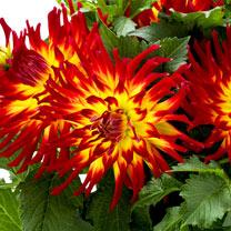 Dahlia Plant - LaBella® Maggiore Fire