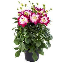 Dahlia Plant - LaBella Maggiore Rose Bicolour