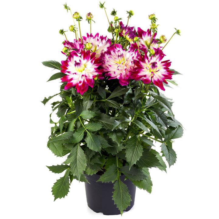 Dahlia Plant - LaBella® Maggiore Rose Bicolour