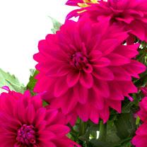 Dahlia Plant - LaBella® Maggiore Deep Rose