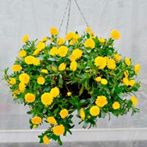 Calendula Plants - Powerdaisy Sunny