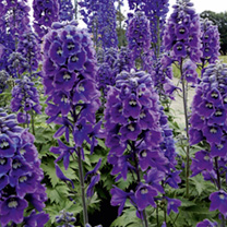 Delphinium Plant - Magic Fountains Dark Blue White Bee