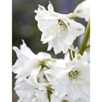 Delphinium Plant - Magic Fountain Pure White