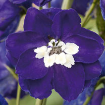 Delphinium Plant - Magic Fountain Dark Blue White Bee
