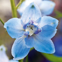 Delphinium Plants - Magic Fountains Sky Blue White Bee