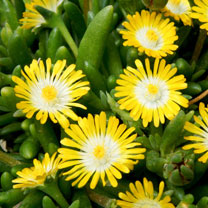 Delosperma Plant - Jewel of the Desert Peridot