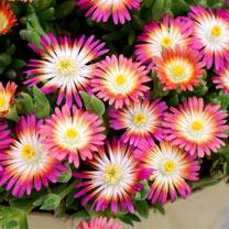 Delosperma Plant - Jewel of Desert Ruby