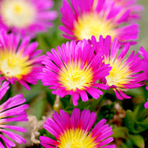 Delosperma Plant - Jewel of the Desert Ruby