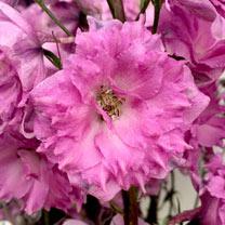 Delphinium Plant - Pink Pouch