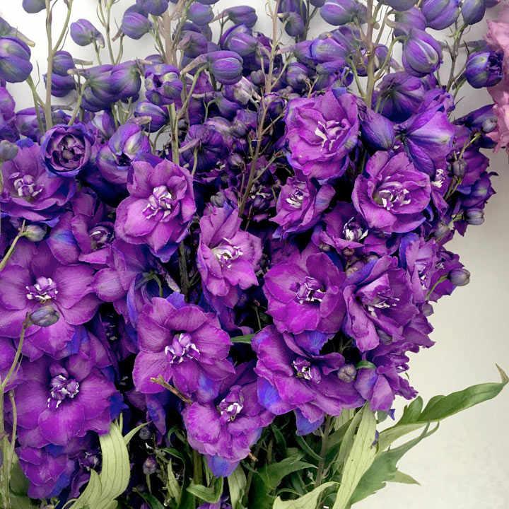 Delphinium Plant - Christel
