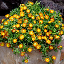 Delosperma Plants - Wheels of Wonder Orange
