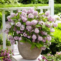 Deutzia Plant - Raspberry Sundae®
