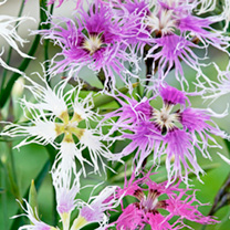 Dianthus Plants - Rainbow Loveliness