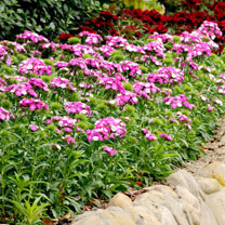 Sweet William Plant - Dash Magician