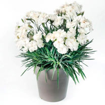 Dianthus Plants - Angel of Purity, Angel of Peace, Angel of Desire