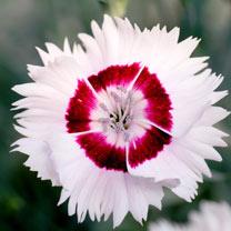 Dianthus Plant - Cherry Daiquiri