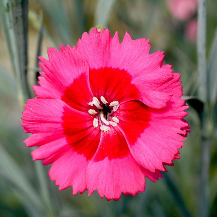 Dianthus Plant - Cosmopolitan
