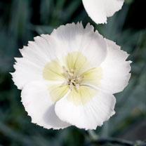 Dianthus Plant - Mojito