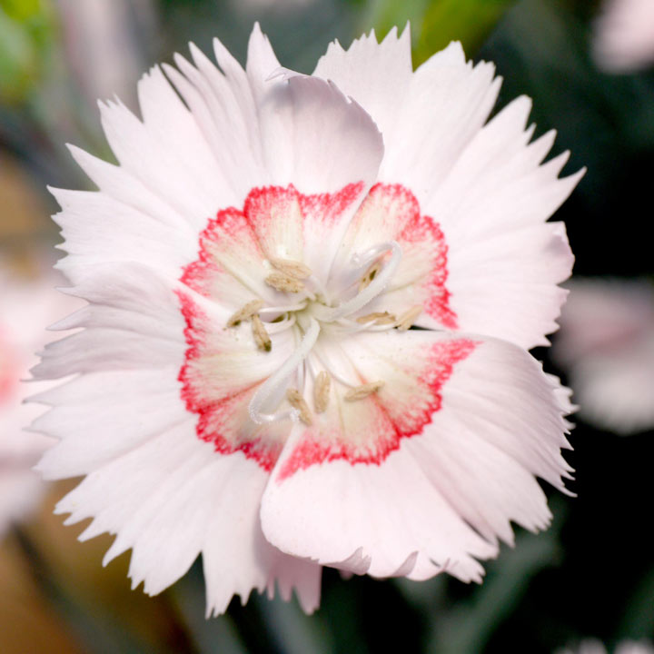 Dianthus Plant - Tequila Sunrise