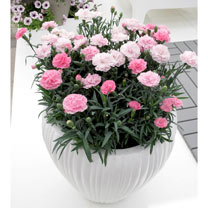 Dianthus Plants - Pink to White