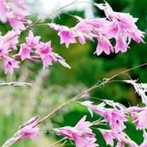 Dierama Plant - Pink Rocket