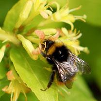 Diervilla rivularis Plant - Honeybee